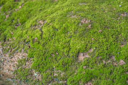 Mosses are small flowerless plants that typically grow in dense green clumps or mats, often in damp or shady locations in nature Stock Photo
