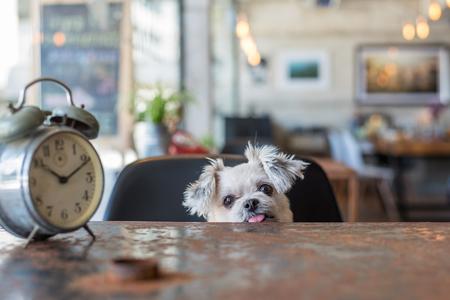 Cão doce tão bonito misturado raça com Shih-Tzu, Pomeranian e Poodle procurando algo em um café café com um estilo vintage de relógio Foto de archivo - 89593549