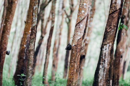 Rubber tree in row at a rubber tree plantation natural latex is a agriculture harvesting natural rubber in white milk color for industry in Thailand