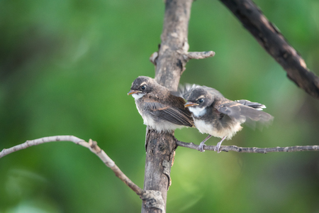 Two birds (Pied Fantail Flycatcher, Rhipidura javanica) black color in a nature wild are couple, friends or brethren Reklamní fotografie