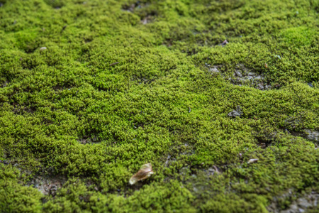Mosses are small flowerless plants that typically grow in dense green clumps or mats, often in damp or shady locations in nature Фото со стока