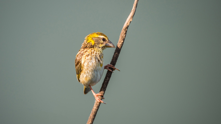 Bird (Streaked weaver, Ploceus manyar) males brown, white and yellow color perched on a tree in a nature wild