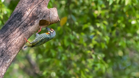 Bird (Coppersmith barbet, Crimson-breasted barbet, Coppersmith, Megalaima haemacephala) yellow, green and red color perched at hollow tree trunk in a nature wild