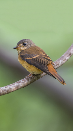 Bird (Ferruginous Flycatcher, Muscicapa ferruginea) brown sugar, orange and red color perched on a tree in a wild, Distribution Uncommon