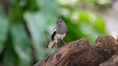 Bird (Oriental magpie-robin or Copsychus saularis) female black, gray and white color perched on a tree in a nature wild Stock Photo