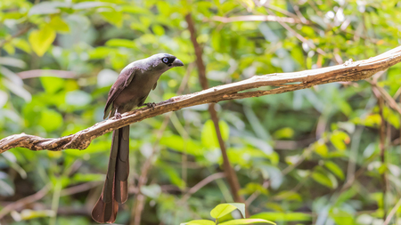 Bird (Racket-tailed Treepie, Crypsirina temia) velvety-black forehead of short, plush black feathers and oily green colour perched on a tree in a wild Stock Photo