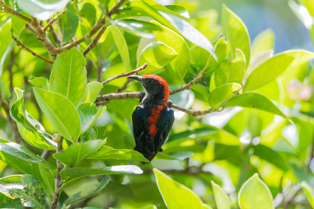 Bird (Scarlet-backed Flowerpecker, Dicaeum cruentatum) male black color with red streak down its back perched on a tree in a nature wild