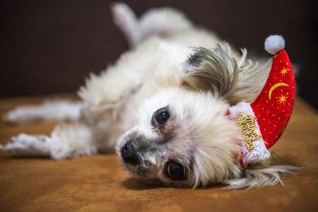 Sweet dog so cute mixed breed with Shih-Tzu, Pomeranian and Poodle looking something with santa claus hat in merry christmas and new yaer celebration Stock Photo
