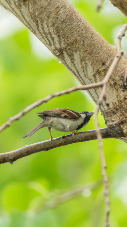 Bird (House Sparrow, Passer domesticus) males brighter black, white, and brown markings color perched on a tree in a nature wild