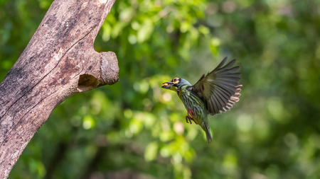 Bird (Coppersmith barbet, Crimson-breasted barbet, Coppersmith, Megalaima haemacephala) yellow, green and red color flying for feeding to baby bird at hollow tree trunk in a nature wild Stock Photo