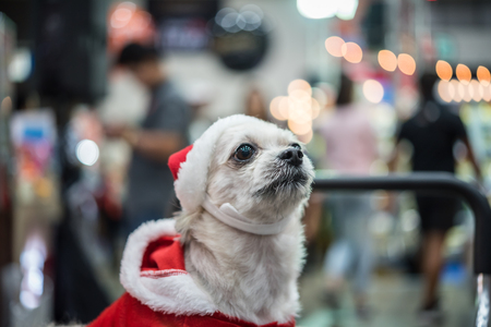 Sweet dog so cute mixed breed with Shih-Tzu, Pomeranian and Poodle looking something with santa claus dress and hat in merry christmas and new year celebration with light bokeh Stock Photo