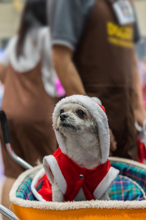 Sweet dog so cute mixed breed with Shih-Tzu, Pomeranian and Poodle looking something with santa claus dress and hat in merry christmas and new year celebration