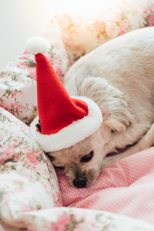 Sweet dog so cute mixed breed with Shih-Tzu, Pomeranian and Poodle looking something with santa claus hat in merry christmas and new year celebration