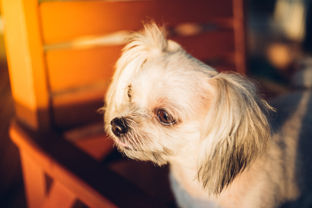 Dog so cute mixed breed with Shih-Tzu, Pomeranian and Poodle sitting on chair and looking at something with interest in cafe coffee shop or bakery ice-cream restaurant