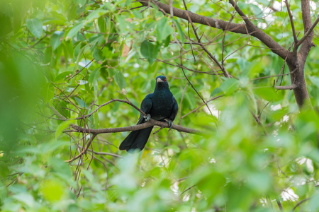 Bird (Asian koel, Eudynamys scolopaceus) male glossy bluish-black, with a pale greenish grey bill the iris is crimson, and it has grey legs and feet perched on a tree in a nature wild Foto de archivo