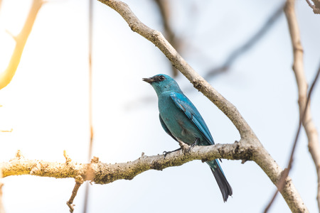Bird (Verditer Flycatcher, Eumyias thalassinus) blue on all areas of the body, except for the black eye-patch and grey vent perched on a tree in a nature wild, Distribution Common