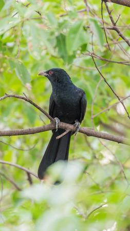 Bird (Asian koel, Eudynamys scolopaceus) male glossy bluish-black, with a pale greenish grey bill the iris is crimson, and it has grey legs and feet perched on a tree in a nature wild Stock fotó - 95065827