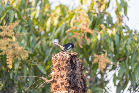 Bird (Oriental magpie-robin or Copsychus saularis) male black and white color perched on a tree in a nature wild