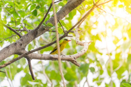 Bird (Black-Naped Oriole, Oriolus chinensi) yellow color perched on a tree in a nature wild