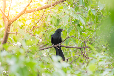 Bird (Asian koel, Eudynamys scolopaceus) male glossy bluish-black, with a pale greenish grey bill the iris is crimson, and it has grey legs and feet perched on a tree in a nature wild Stock Photo