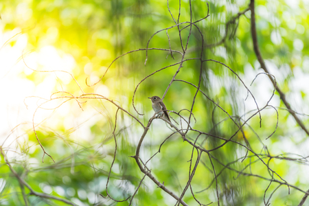 Bird (Asian brown flycatcher, Muscicapa dauurica, Siamensis) grey-brown color perched on a tree in a nature wild