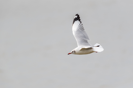 Bird (Laridae, Chroicocephalus brunnicephalus) white and gray color flying on the sky at a nature sea Imagens