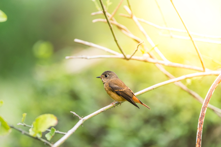 Bird (Ferruginous Flycatcher, Muscicapa ferruginea) brown sugar, orange and red color perched on a tree in a nature wild, Distribution Uncommon