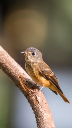 Bird (Ferruginous Flycatcher, Muscicapa ferruginea) on the branch