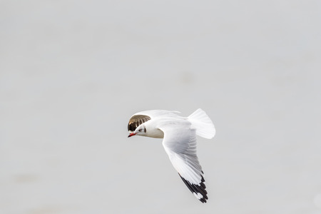 Bird (Laridae, Chroicocephalus brunnicephalus) white and gray color flying on the sky at a nature sea Stock Photo