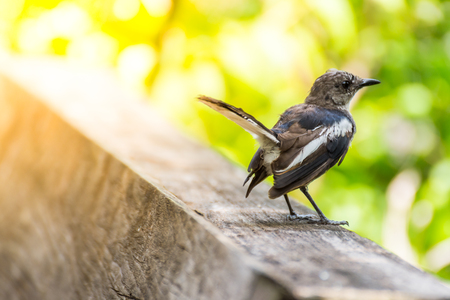 Bird (Oriental magpie-robin or Copsychus saularis) male black and white color perched on floor in a nature wild