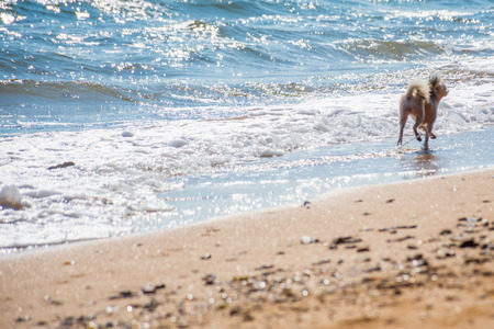 Dog so cute beige color mixed breed with Shih-Tzu, Pomeranian and Poodle running on beach with happy fun when vacation travel at sea with beach Stock Photo