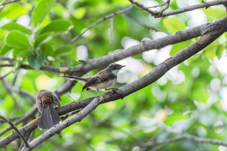 Two birds (Malaysian Pied Fantail, Rhipidura javanica) black and white color are couple, friends or brethren perched on a tree in a nature wild