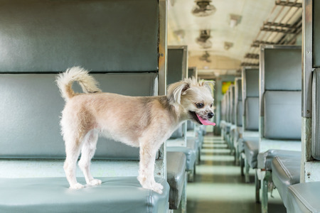 Dog so cute beige color mixed breed with Shih-Tzu, Pomeranian and Poodle on car seat inside a railway train cabin vintage style wait for vacation travel trip