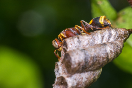 Macro of Hymenoptera is a large order of insects, comprising the sawflies, wasps, bees, and ants yellow and black color close up on the nest in nature Stock Photo