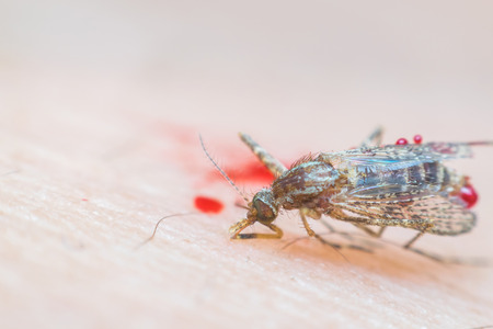 Macro of smashed crush mosquito (Aedes aegypti) sucking blood to died close up on the human skin. Mosquito is carrier of Malaria, Encephalitis, Dengue and Zika virus, dead Stock fotó