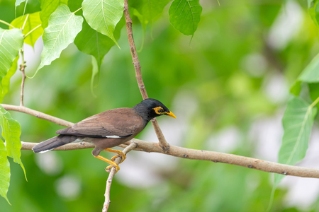 Bird (Mynas or Sturnidae) perched on a tree in a nature wild Stock Photo