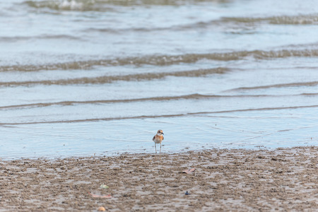 Bird (Greater sand plover, Charadrius leschenaultii) is a small wader in the plover family of birds at a sea in a nature wild Stock Photo