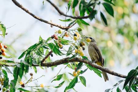 Bird (Yellow-vented Bulbul, Pycnonotus goiavier) black, yellow and brown color perched on a tree in a nature wild Stock Photo