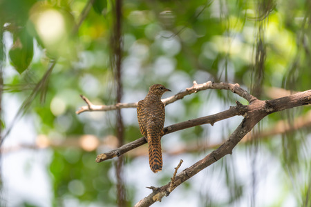 Bird (Plaintive Cuckoo, Cacomantis merulinus) black, yellow, brown and orange color perched on a tree in a nature wild