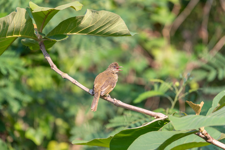Bird (Streak-eared bulbul, Pycnonotus blanfordi) brown color perched on a tree in a nature wild