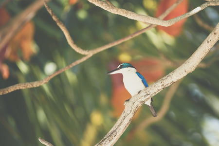 Bird (Collared kingfisher, White-collared kingfisher) blue color and white collar around the neck perched on a tree in a nature mangrove wild