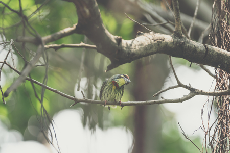 Bird (Coppersmith barbet, Crimson-breasted barbet, Coppersmith, Megalaima haemacephala) yellow, green and red color perched on a tree in a nature wild