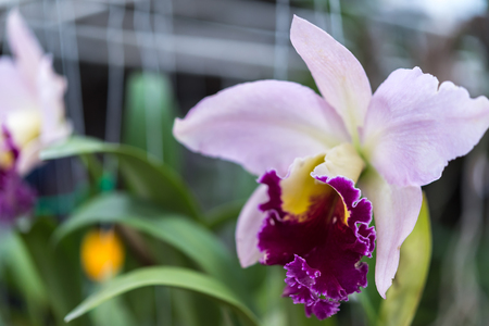 Flower (Orchidaceae or Orchid Flower) purple and pink color, Naturally beautiful flowers in the garden Stock Photo