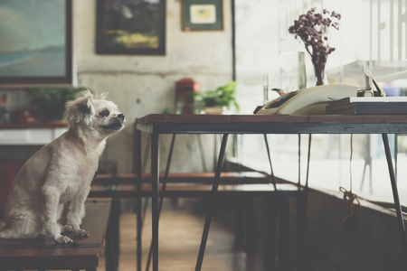 Dog so cute mixed breed with Shih-Tzu, Pomeranian and Poodle sitting on chair with vintage typewriter on desk and looking at something with interest in cafe coffee shop or bakery ice-cream restaurant