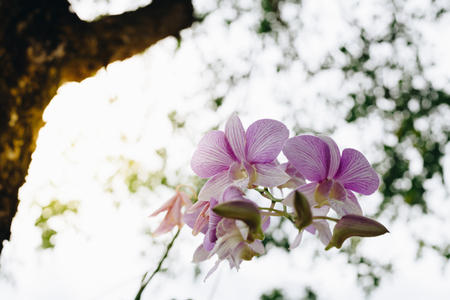 Flower (Orchidaceae or Orchid Flower) purple and white color, Naturally beautiful flowers in the garden