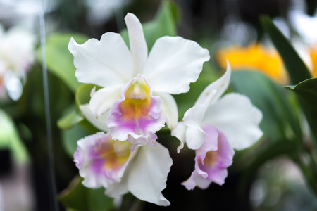 Flower (Orchidaceae or Orchid Flower) white and purple color, Naturally beautiful flowers in the garden