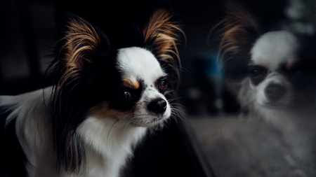 Dog so cute chihuahua breed brown and white color sitting and looking at something with interest