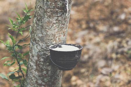 Gummibaum mit Naturkautschuk in weißer Milchfarbe Tropfen in die Schüssel oder den Topf auf der Gummibaumplantage Naturlatex ist eine Landwirtschaft, die für die Industrie in Thailand erntet