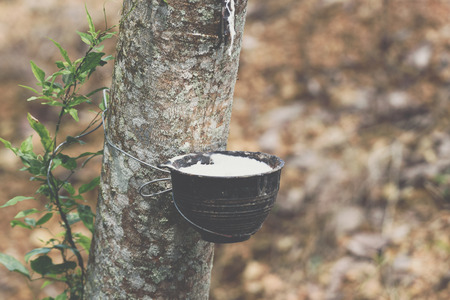 Rubber tree with natural rubber in white milk color drop to the bowl or pot at rubber tree plantation natural latex is a agriculture harvesting for industry in Thailand
