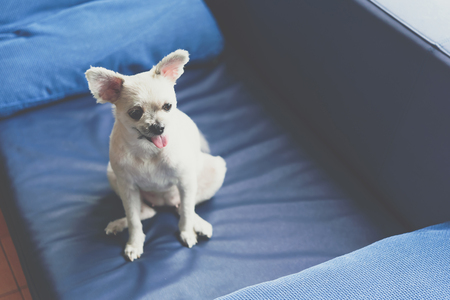 Dog so cute mixed breed with Shih-Tzu, Pomeranian and Poodle standing on sofa and looking at something with interest when vacation travel Фото со стока